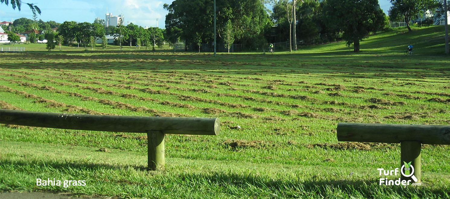 Bahia grass weed 2 turf finder