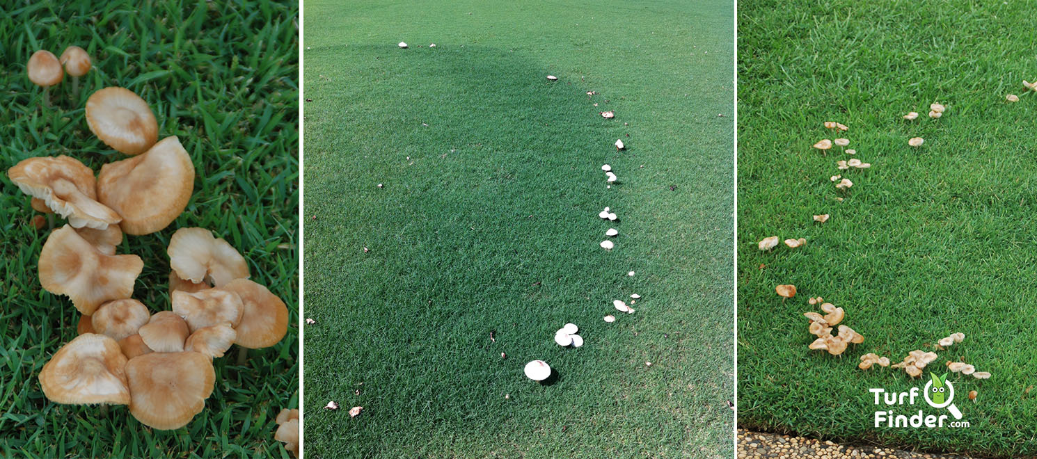Fairy ring 1 turf finder
