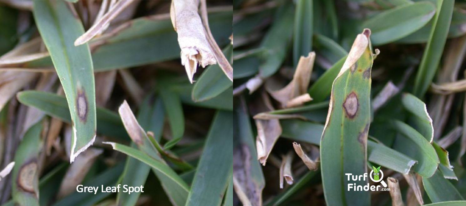 Grey leaf spot 1 turf finder