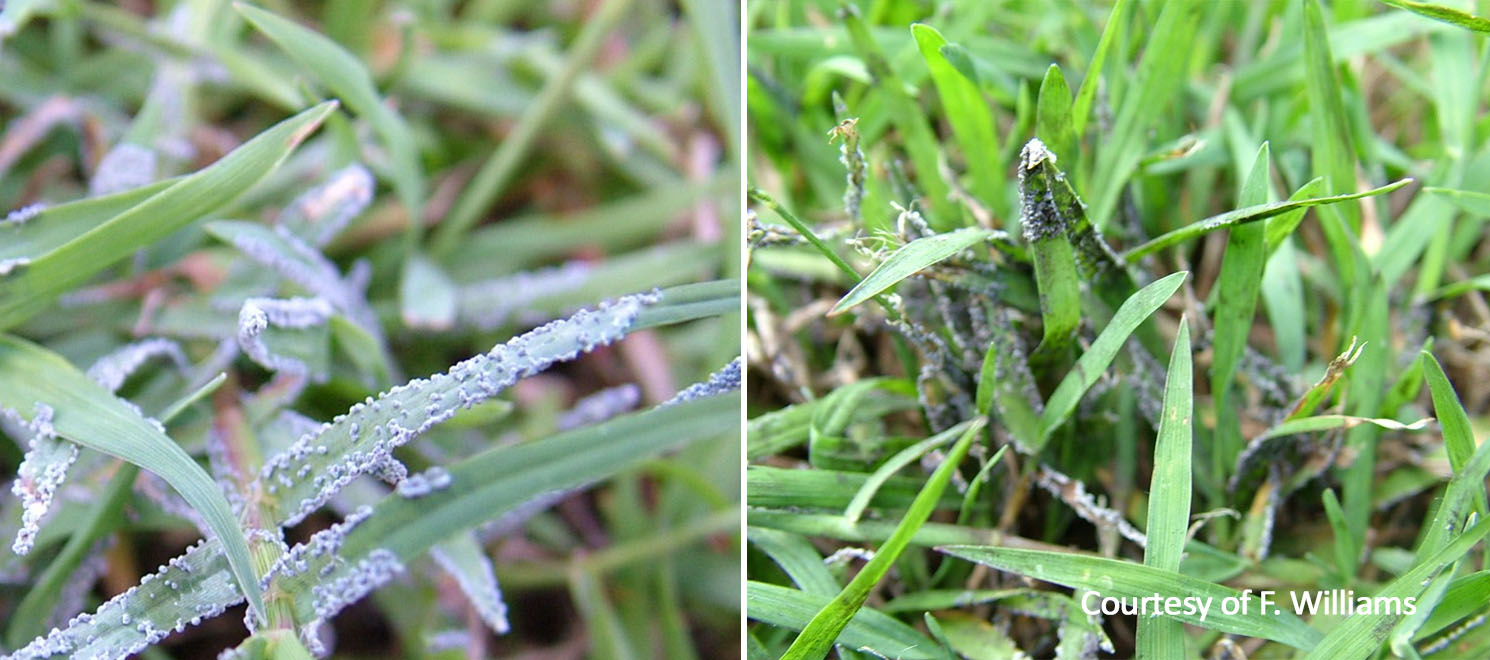 Grey slime mould 3 turf finder