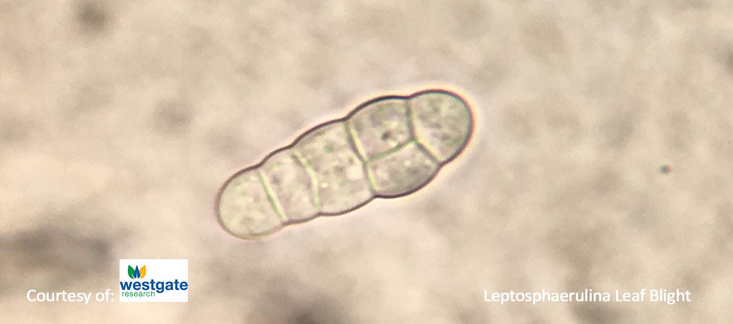 Leptosphaerulina australis 2 turf finder