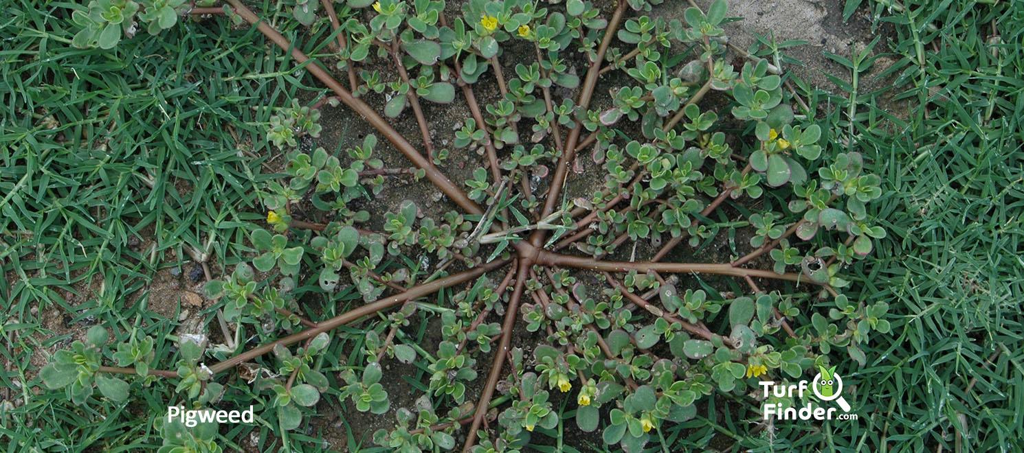 Pigweed 1 turf finder