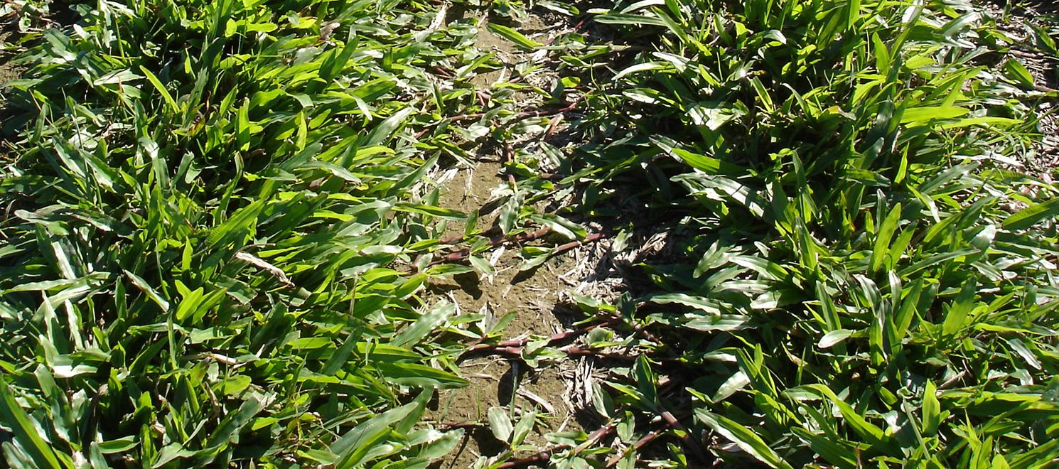 Broadleaf carpet grass 2 turf finder